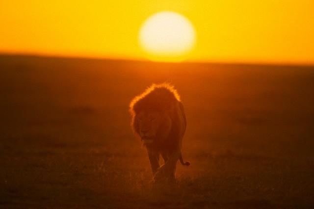African lion (Panthera leo) walking at sunrise --- Image by © Ocean/Corbis