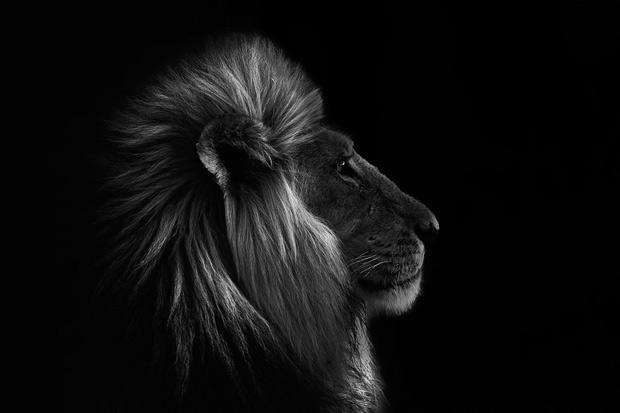 lion-side-portrait_1681653i