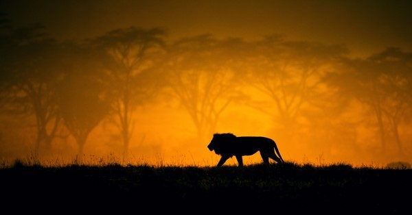 lion_sunset