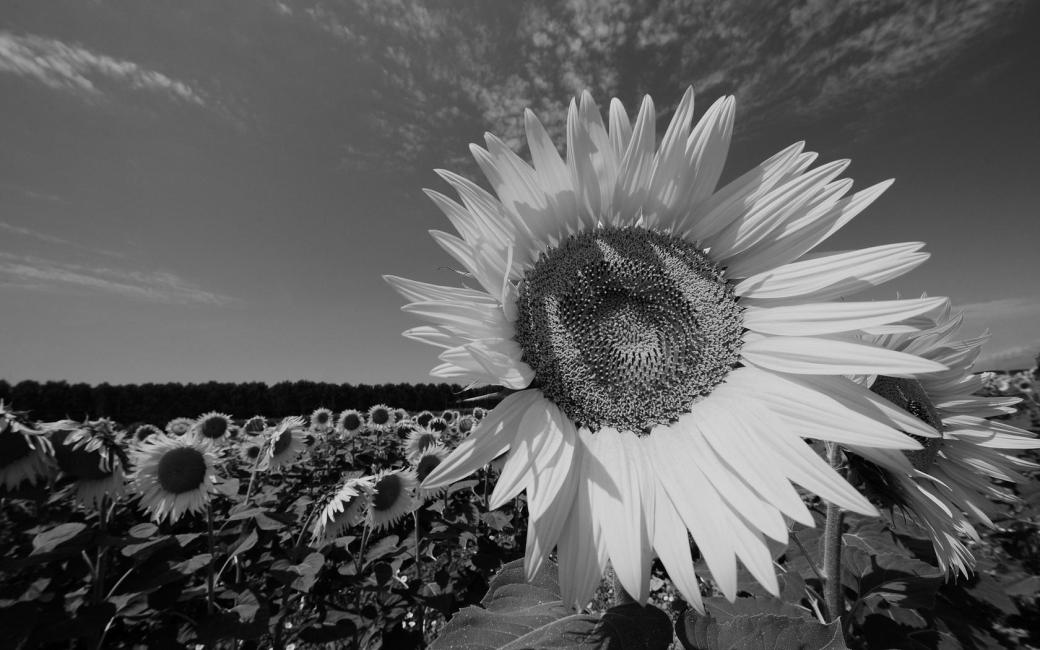 gray_flowers_color_sunflower_sky_field_hd-wallpaper-366742